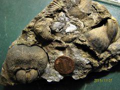 Sandstone Matrix with Lower Devonian Brachiopods from Albany, NY.