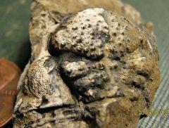 Ornamented Trilobite Cephalon from Montague, NJ.