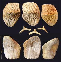 Alligator osteoderms