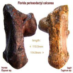 calcanea compared