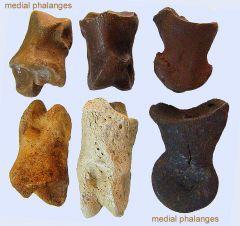 medial phalanges