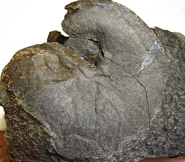 Tornoceras Goniatite