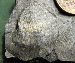 Retispira gastropod from Madison Co., NY.
