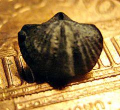 Devonian Spiriferid Preservd in Pyrite from Penn Dixie
