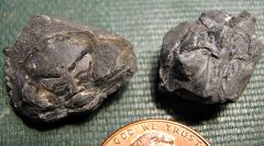 Enrolled Greenops Trilobites from Madison Co., NY.