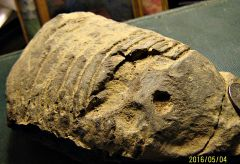 5 inch Partial Dipleura (trilobite) from Madison Co., NY