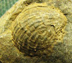 Spinulicosta, Brachiopod