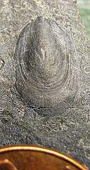 Lingula brachiopod from Madison Co., NY