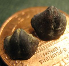 Spiriferid Braciopods Preservd in Pyrite from Penn Dixie
