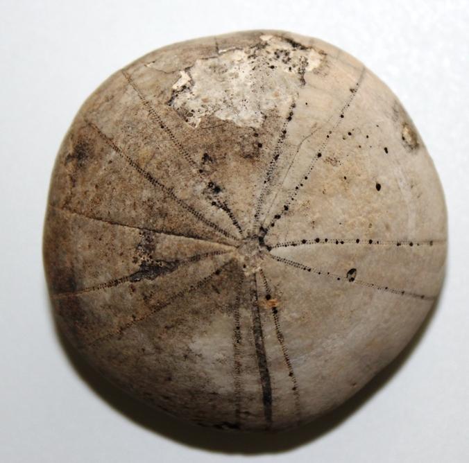 Coenholectypus crassus