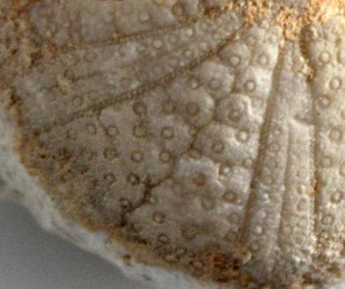 Anorthopygus orbicularis, interambulacral view