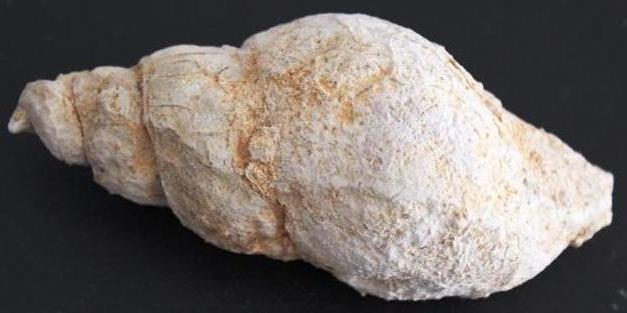 Trochactaeon sp. (?)