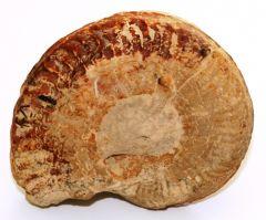 Ammonoidea ZITTEL 1884