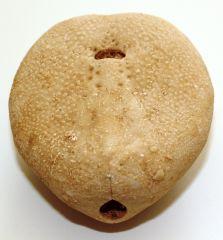 Eupatagus antillarum, oral view