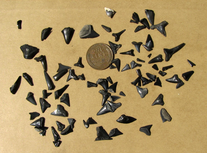 Shark S Teeth Found At North Myrtle Beach