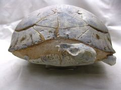 Stylemys nebrascensis Tortoise Fossil with Skull and Limb Bone