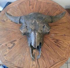 Old Bison Skull 1