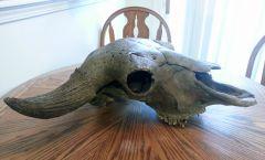Old Bison Skull 3