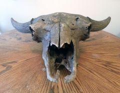 Old Bison Skull 4