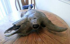 Old Bison Skull 2