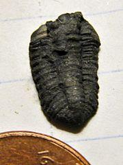Flexicalymene Trilobite from LaPrairie, Quebec
