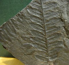 Alethopteris frond imprint from Carbondale, PA.