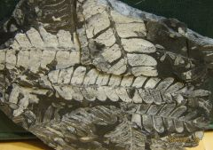 Carboniferous from PA.