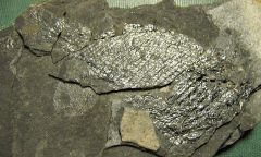 Jurassic fish from Connecticut
