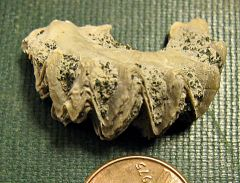 Oyster from Cretaceous of New Jersey