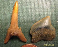 Cretaceous Shark Teeth from Tony