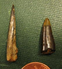 Enchodus teeth from New Jersey