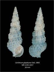Cerithium glaphyrea