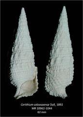 Cerithium caloosaense