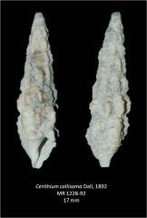 Cerithium callisoma