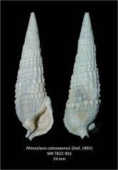 Rhinoclavis caloosaensis