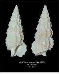 Cerithium muscarum