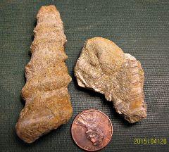 Paleocene turritellas from the Aquia Formation (Maryland)