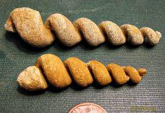 Turritella internal molds from Paleocene Aquia Formation (Maryland)