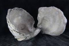 Pycnodonte mutibilis