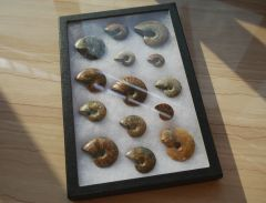 Ammonite Set