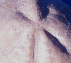 micraster decipiens -  close up