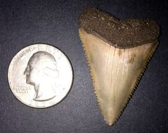 GMR Great White Shark Tooth (Carcharodon carcharias)