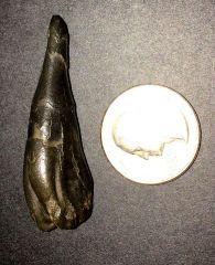 GMR Saw Fish Tooth (Ischyrhiza Mira)