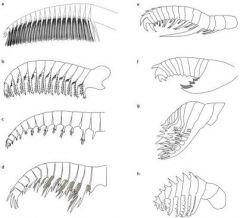 Anomalocaridid feeding appendages.