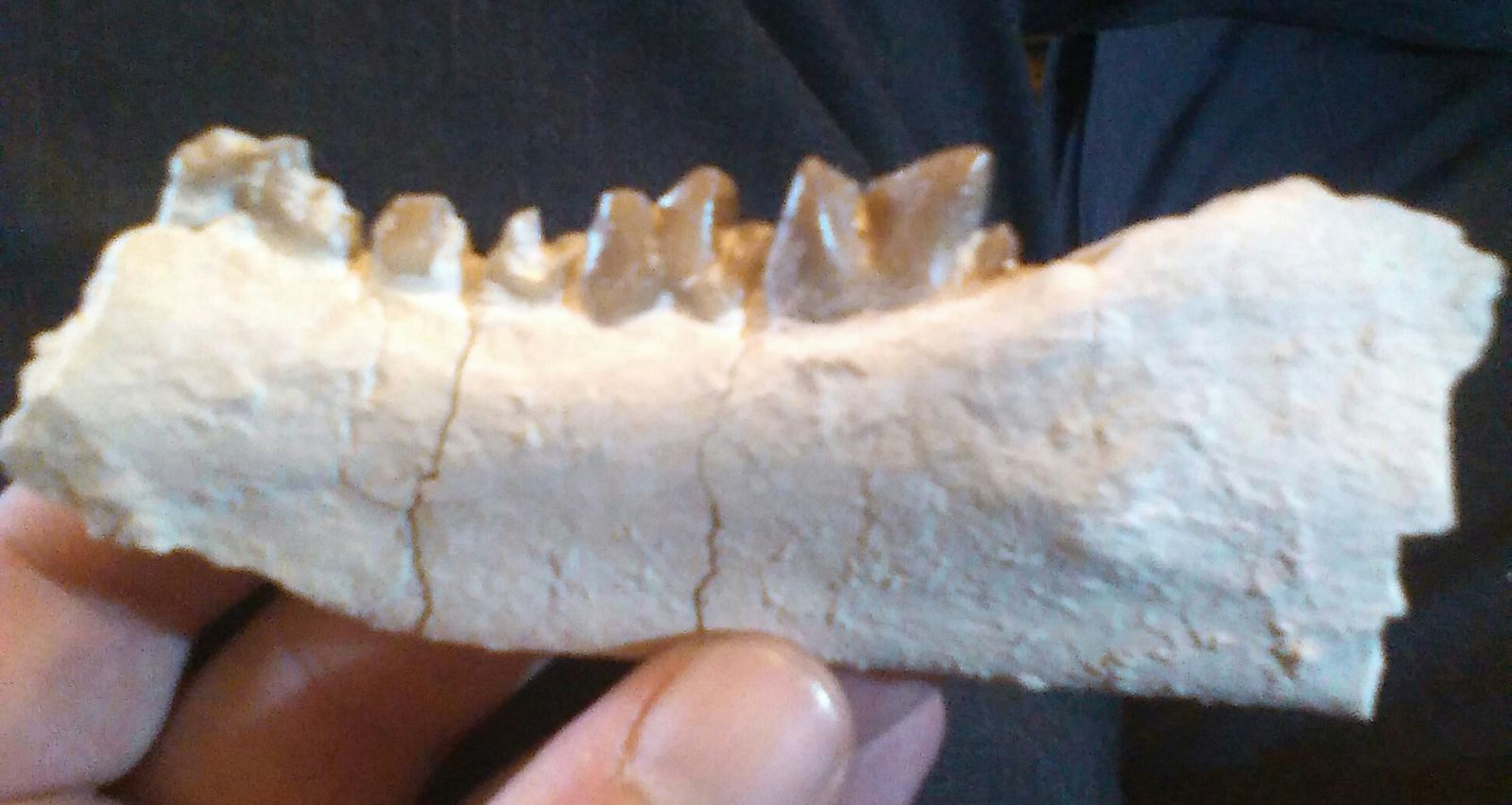 Hyaenodon (horridus?) left jaw.