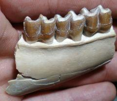 Mesohippus jaw