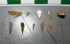 Gingin Cretaceous vert fossils. Western Australia.