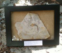 Framed Lycoptera davidi (Wolf Fin Fish)