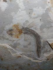 Lycoptera davidi (Wolf Fin Fish)