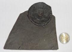 Ichtyosaurus vertebra